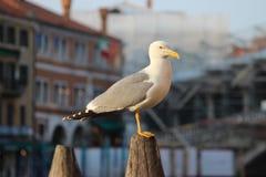 Seemöwen-Stellung und Aufpassen, Venedig Italien Stockbilder