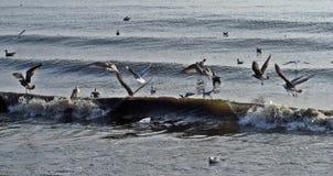 Seemöwen-Surfen Stockbilder