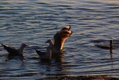 Seemöwen treffen sich im Wasser lizenzfreie stockfotos