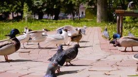 Seem?wen und Enten k?mpfen f?r die Nahrung, die von den Leuten zu ihnen geworfen wird K?hle Rahmen in der Zeitlupe V?gel im Stadt stock video