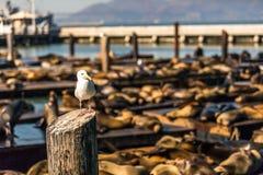 Seemöwen- und Seelöwen am Pier 39 San Francisco, Kalifornien Lizenzfreies Stockfoto