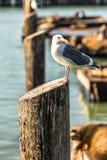 Seemöwen- und Seelöwen am Pier 39 San Francisco, Kalifornien lizenzfreie stockfotos