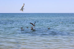 Seemöwen versuchen, die Fische zu fangen Lizenzfreies Stockfoto