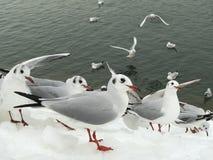 Seemöwen, welche die Leute auf Schnee aufpassen stockfotos