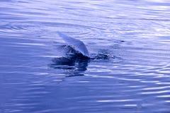Seemöwenfischen Lizenzfreies Stockbild