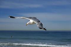 Seemöwenfliegen auf dem hermosa Strand, Kalifornien Lizenzfreies Stockfoto