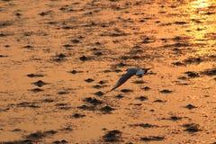 Seemöwenfliegen im Himmel mit Sonnenuntergang Stockbild