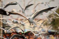 Seemöwenfliegen im Himmel mit weit offenen Flügeln Stockbilder