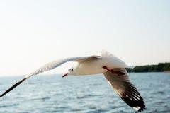 Seemöwenfliegen in Meer stockbilder