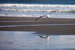 Seemöwenfliegen mit Reflexion im Wasser Stockfotografie