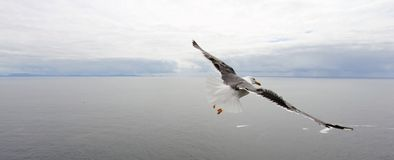 Seemöwenflug über dem Ozean lizenzfreie stockfotos