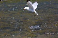 Seemöwenjagd in einem Fluss Stockfotografie