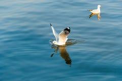 Seemöwenland auf Meerwasser Stockbilder