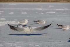 Seemöwenlandung auf gefrorenem See stockfotografie