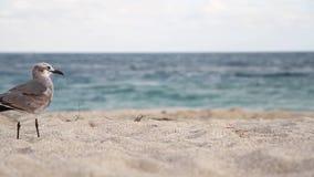 Seemöwennahaufnahme auf dem sandigen Ufer des blauen Meeres stock footage