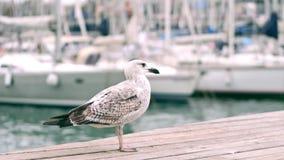 Seemöwenstellung auf dem Pier gegen unscharfe Segelboote stock video