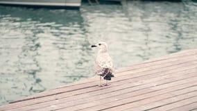Seemöwenstellung auf dem Pier gegen unscharfe Wasserkräuselung stock video