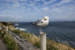 Seemöwenstellung auf einem fencepost mit einer schönen Küstenlinie hinten lizenzfreies stockfoto