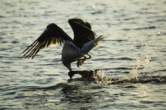 Seemöwenvogel, der eine Ente fängt Stockbilder