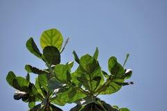 Seemandel-Blätter Stockfoto