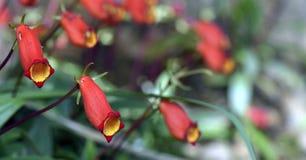 Seemannia, une fleur brésilienne rouge Photographie stock libre de droits