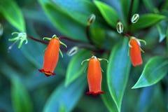 Seemannia, une fleur brésilienne rouge Photos libres de droits