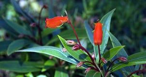 Seemannia, une fleur brésilienne rouge Images stock
