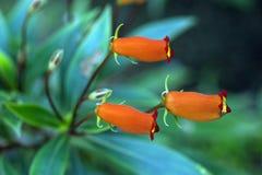 Seemannia, une fleur brésilienne rouge Images libres de droits
