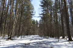 It seems to us that in the winter forest there is peace and soundlessness, but it is only at first glance. When the sun comes, the whole forest is transformed Stock Photos