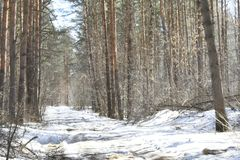 It seems to us that in the winter forest there is peace and soundlessness, but it is only at first glance. When the sun comes, the whole forest is transformed Royalty Free Stock Images