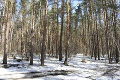 It seems to us that in the winter forest there is peace and soundlessness, but it is only at first glance. When the sun comes, the whole forest is transformed Stock Photography