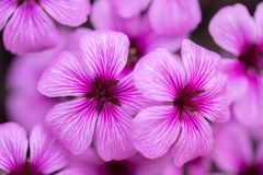 Pink-Sorrel Oxalis articulate blooming. Seen at the Golden Gate Park in San Francisco, California, USA Stock Image