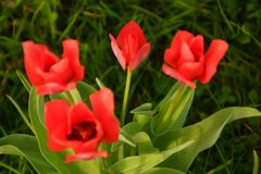 Seen of about several tulips. Bright red. Royalty Free Stock Photo