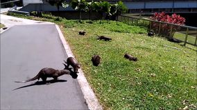 Seeotter stock video footage