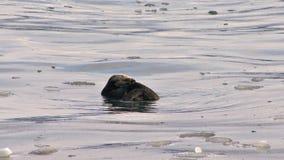 Seeotter, der im eisigen Wasser sich pflegt stock footage