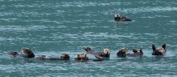 Seeotter, die zusammen schwimmen stockfoto