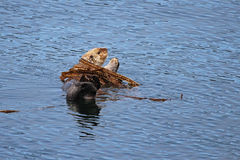 Seeotter im Kelp-Bett Stockfotos