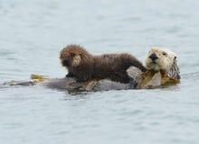 Seeottermutter mit entzückendem Schätzchen/Kind im Kelp, große SU Lizenzfreies Stockfoto