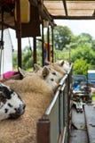 Seep scherend auf einem Bauernhof Lizenzfreie Stockfotografie