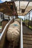 Seep scherend auf einem Bauernhof Stockfoto