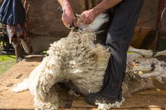 Seep shearing on a farm. Mobile sheep shearing on a farm in Dumfries and Galloway, south west Scotland. The sheep dog holds the sheep ready to be sheared in a Royalty Free Stock Images