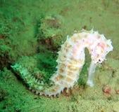 Seepferd im Korallenriff Stockbild