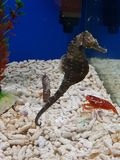 Seepferdchen und ein kleiner Hummer in einem Aquarium lizenzfreie stockfotografie