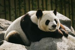 Seeping panda. A panda that's sleeping on a rock Royalty Free Stock Image