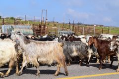 Seeps in Mas`ade, Golan heights, Israel north. A herd of goats on the road on a sunny day in MAS`ADE, Golan Heights, northern Israel Stock Images