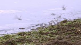 Seeregenpfeifer auf dem Seestrand stock video footage