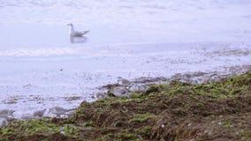 Seeregenpfeifer auf dem Seestrand stock footage