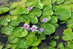 Seerose auf dem See Lizenzfreies Stockfoto