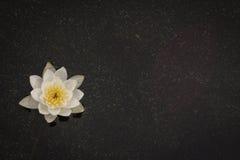 Seerose auf der Wasseroberfläche, Hintergrund Lizenzfreie Stockfotos