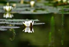Seerose auf einem See lizenzfreies stockbild